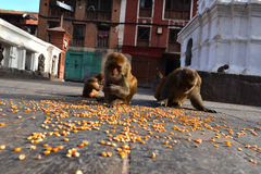 Macaque monkeys eating corn Royalty Free Stock Photography
