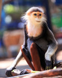 Macaque monkeys five colors(Red-shanked Douc). At open Zoo, Thailand Royalty Free Stock Photo