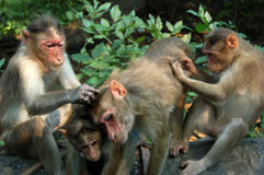 Macaque Monkeys grooming Royalty Free Stock Photography