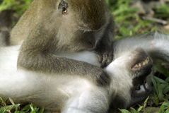 Macaque monkeys grooming Royalty Free Stock Photo