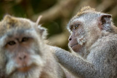 Macaque monkeys grooming Stock Image