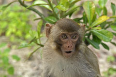 Macaque monkeys on the island. Funny monkey on monkey island Stock Photography