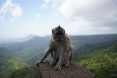 Macaque monkeys, Mauritius stock image