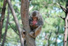 Macaque Monkeys. Macaque monkey eating a juicy peach on the tree. This photo is taken in monkey island of the Qiandao Lake which is a man-made lake located in Stock Photo