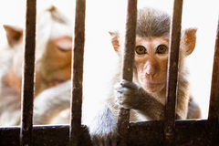 Macaque Monkeys Royalty Free Stock Photo