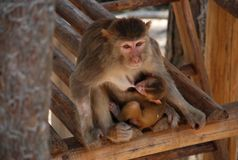 Macaque Monkeys. Mother macaque monkey feeding her baby. This photo is taken in monkey island of the Qiandao Lake which is a man-made lake located in Zhejiang Royalty Free Stock Images