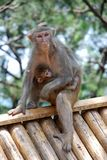 Macaque Monkeys. Mother macaque monkey with her baby. This photo is taken in monkey island of the Qiandao Lake which is a man-made lake located in Zhejiang Stock Photo