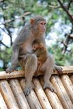 Macaque Monkeys. Mother macaque monkey with her baby. This photo is taken in monkey island of the Qiandao Lake which is a man-made lake located in Zhejiang Stock Images