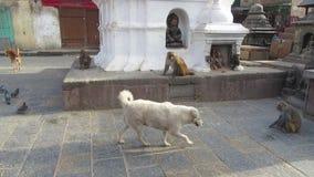 Macaque monkeys playing in Swayambhunath stock footage