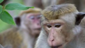 Macaque monkeys rests on a small tree stock video footage
