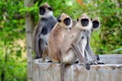 Macaque monkeys from Sri Lanka Royalty Free Stock Photos