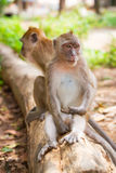 Macaque monkeys in Thailand. Macaque monkeys in widelife, Thailand Stock Images