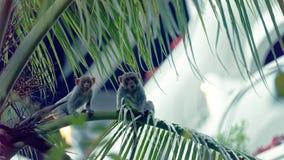 Macaque monkeys in tree, Da Nang, Vietnam. Pair of macaque monkeys sitting in palm trees in Da Nang, Vietnam royalty free stock images