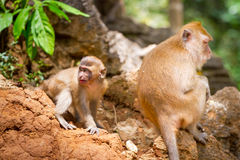 Macaque monkeys in the wildlife Stock Photos