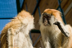 Macaque monkeys in zoo Stock Photos