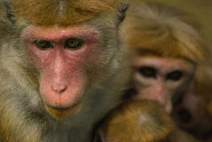 Macaque Mother with Babies Stock Image