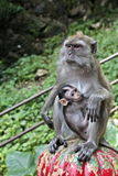 Macaque mother brestfeeding her baby Stock Images