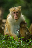 Macaque Mother with Baby Stock Image