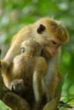 Macaque Mother with Baby Stock Images