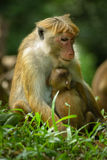 Macaque Mother with Baby Royalty Free Stock Photo