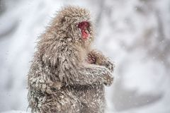 Macaque mother and child in a snowstorm stock image
