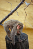 Macaque mother. Royalty Free Stock Images