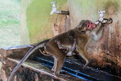 Macaque mother with its baby drinks water in the ancient city Polonnaruwa, Sri Lan. Ka stock photos