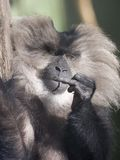 Macaque munito leone fotografia stock