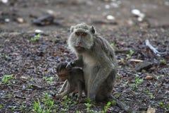 Macaque munito lungo Fotografia Stock