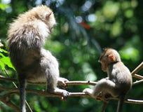 Macaque-Muttergesellschaft und Schätzchen Lizenzfreie Stockbilder