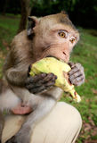 Macaque on my Knee Royalty Free Stock Photo