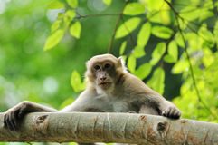 Macaque na natureza Fotografia de Stock Royalty Free
