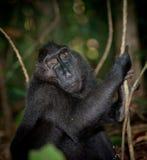 Macaque negro, Sulawesi, Indonesia Imagen de archivo