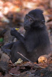 Macaque noir Photographie stock