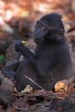 Macaque noir Photographie stock