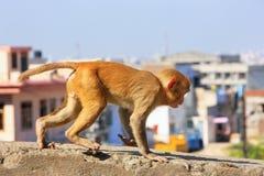 Macaque novo do Rhesus que corre em uma parede em Jaipur, Rajasthan, Ind Fotografia de Stock Royalty Free