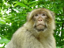 Macaque o mono de Magot Fotografía de archivo