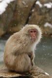 Macaque o mono japonés de la nieve, fuscata del Macaca Foto de archivo