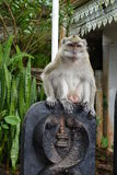 Macaque observing. Around at Mauritius Stock Images