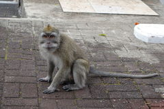 Macaque observing. A macaque observing around - Mauritius Island Royalty Free Stock Photos