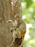 Macaque in observing mood Royalty Free Stock Image