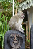 Macaque observing Stock Photography