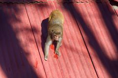 Macaque op een glad dak royalty-vrije stock afbeelding