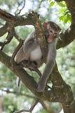 Macaque op treetop stock afbeeldingen