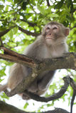Macaque op treetop stock foto's