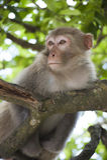Macaque op treetop stock afbeelding