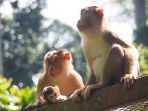 macaque Porc-coupé la queue, ou singes avec le bébé, en Malaisie Photographie stock