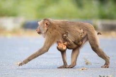 macaque Porc-suivi Images libres de droits