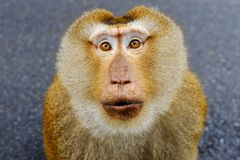 Macaque Porco-atado do sul Foto de Stock