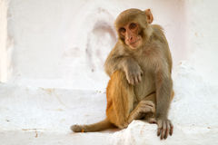 Macaque portrait Royalty Free Stock Photo